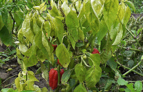 pepper capsicum annuum Stolbur disease