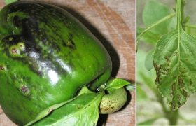 pepper capsicum annuum bacterial pathogenic spotting