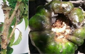 pepper capsicum annuum grey rot