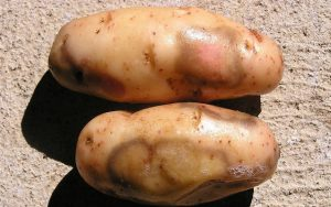 potato solanum tuberosum Blackleg