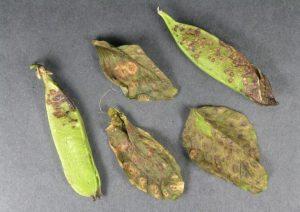 peas pisum sativum ascochyta blight