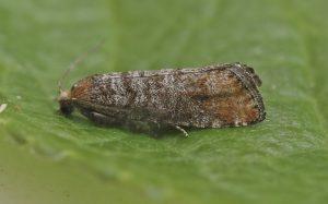 peas pisum sativum moth