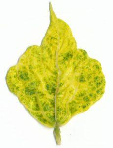 beans phaseolus vulgaris yellow mosaic virus