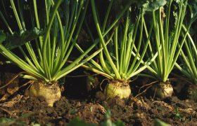 beet beta vulgaris