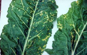 beet beta vulgaris Beet necrotic yellow vein virus