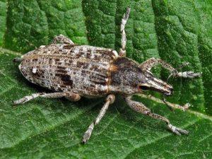 beet beta vulgaris Bothynoderes punctiventris