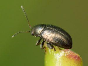 beet beta vulgaris Chaetocnema spp