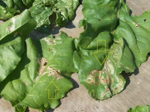 beet beta vulgaris Pegomyia hyoscyami