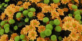 mums chrysanthemum