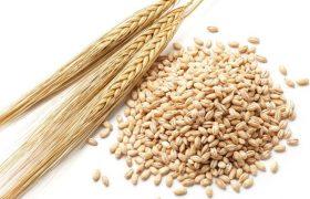 barley hordeum vulgare