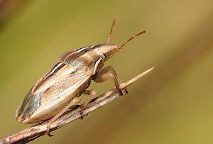 barley hordeum vulgare Aelia spp.