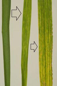 barley hordeum vulgare Barley stripe mosaic virus