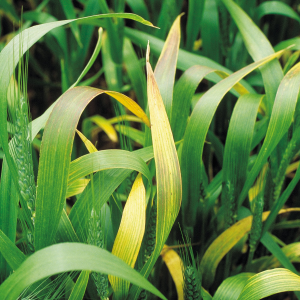 barley hordeum vulgare Barley yellow dwarf virus