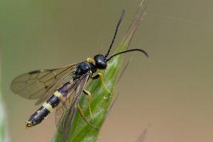 barley-hordeum-vulgare-Cephus-pygmaeus