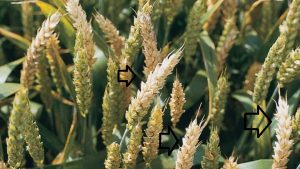 barley hordeum vulgare Gibberella zeae