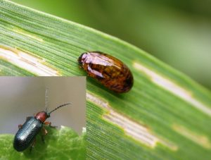 barley hordeum vulgare Lema melanopa
