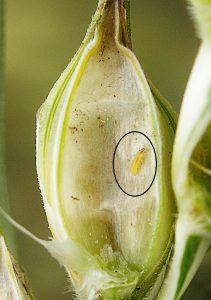 barley hordeum vulgare Limothrips denticornis