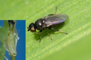 barley hordeum vulgare Pest Flies