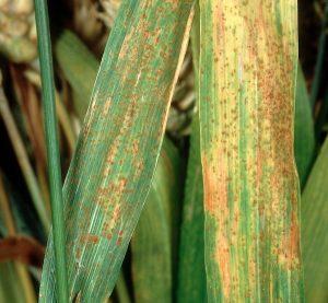 barley-hordeum-vulgare-Puccinia-hordei