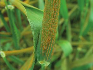 barley hordeum vulgare Puccinia striiformis