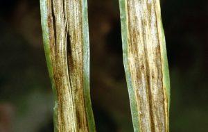 barley hordeum vulgare Pyrenophora graminea