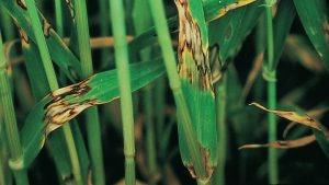 barley hordeum vulgare Rhynchosporium secalis