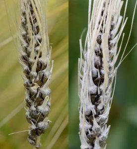 barley hordeum vulgare Ustilago hordei