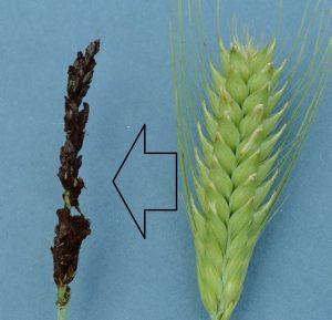 barley hordeum vulgare Ustilago nigra
