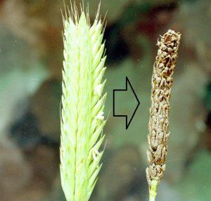 barley hordeum vulgare Ustilago nuda