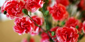 carnation dianthus caryophyllus