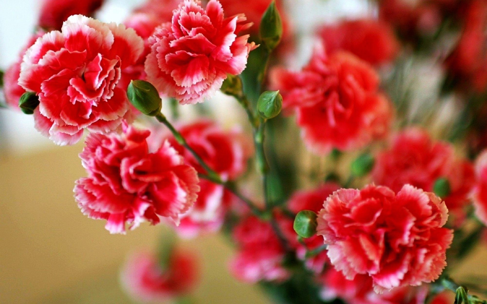 Carnation treatments, most common diseases and pests of this flower ...