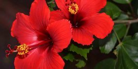 japanese rose hibiscus rosasinensis