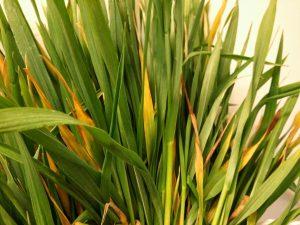 oat avena sativa Barley yellow dwarf virus
