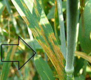oat avena sativa Pyrenophora avenae