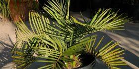 palm arecaceae