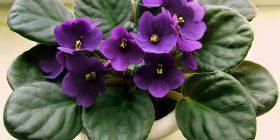 viola violaceae