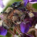 viola violaceae - rot 1
