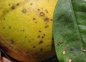 citrus citrus Colletotrichum gloeosporioides