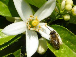 citrus citrus flower