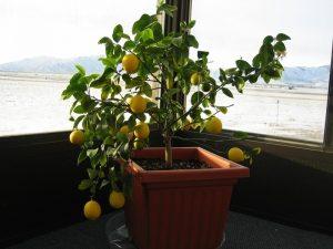 citrus citrus lemon tree indoors