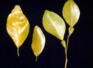 citrus citrus nitrogen deficiency