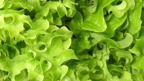 lettuce-lactuca-sativa