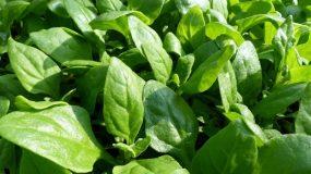 spinach spinacia oleracea