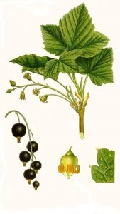 blackcurrant ribes - blackcurrant plant