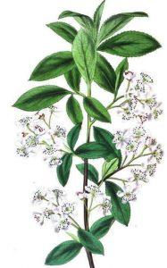 chokeberry aronia - chokeberry plant