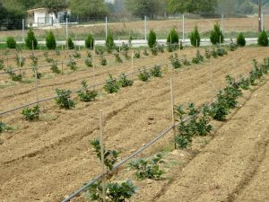 chokeberry aronia - planting