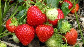 garden strawberry fragaria x ananassa