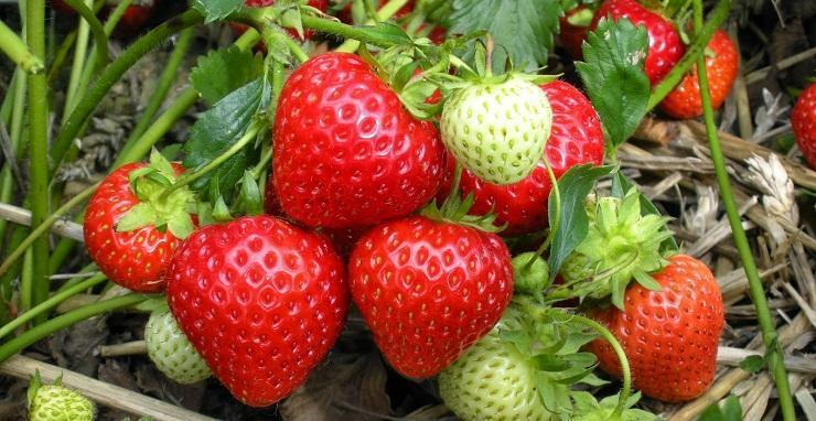 garden strawberry fragaria x ananassa