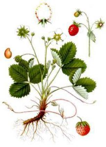 garden strawberry fragaria x ananassa - strawberry plant