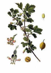 gooseberry ribes uva-crispa - gooseberry plant